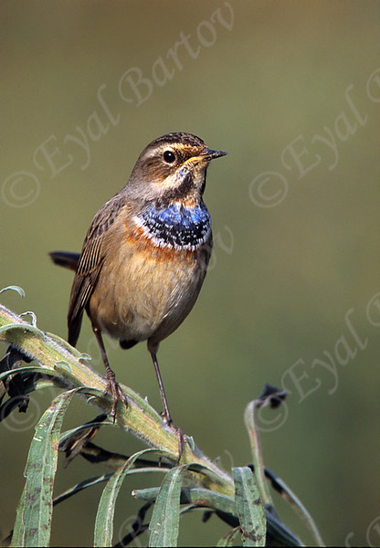 Bluethroat.jpg