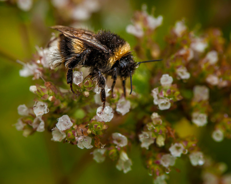 Bee on Oregano flowers.