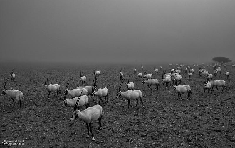 Arabian Oryx (35)- B&W.jpg