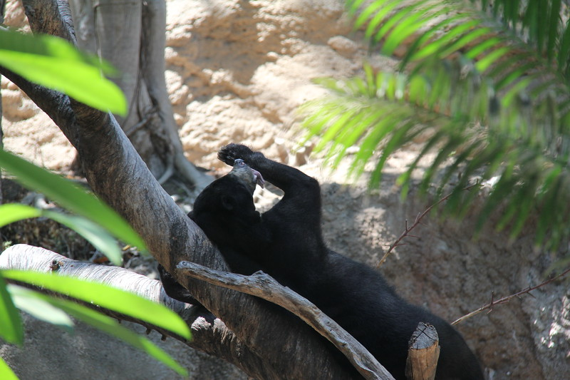 20170807-131 - San Diego Zoo - Black Bear.JPG