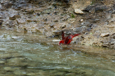 Northern Cardinal M12737.jpg