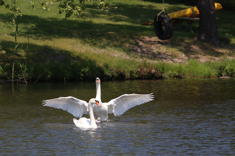 Swans at the duck pond.