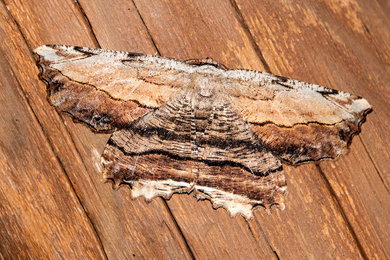 Lytrosis-Common-(Lytrosis unitaria)- Dunning Lake - Itasca County, MN