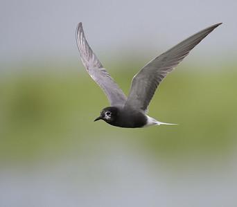 Black Tern / Zwarte Stern / Chlidonias niger