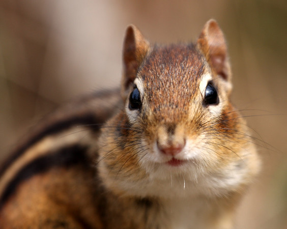2010 - Chipmunks, Chickadees, and Hares: Oh My!