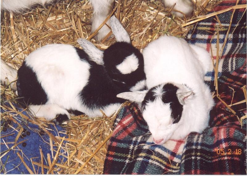 goat babies 1.jpg