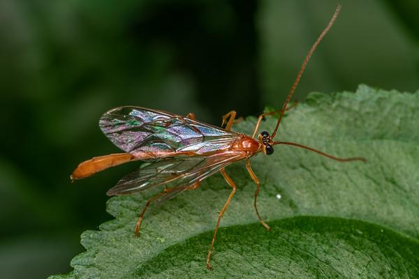 Enicospilus purgatus (USA)