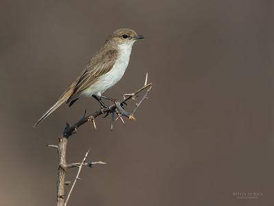 Marico Flycatcher (Melaenornis mariquensis)