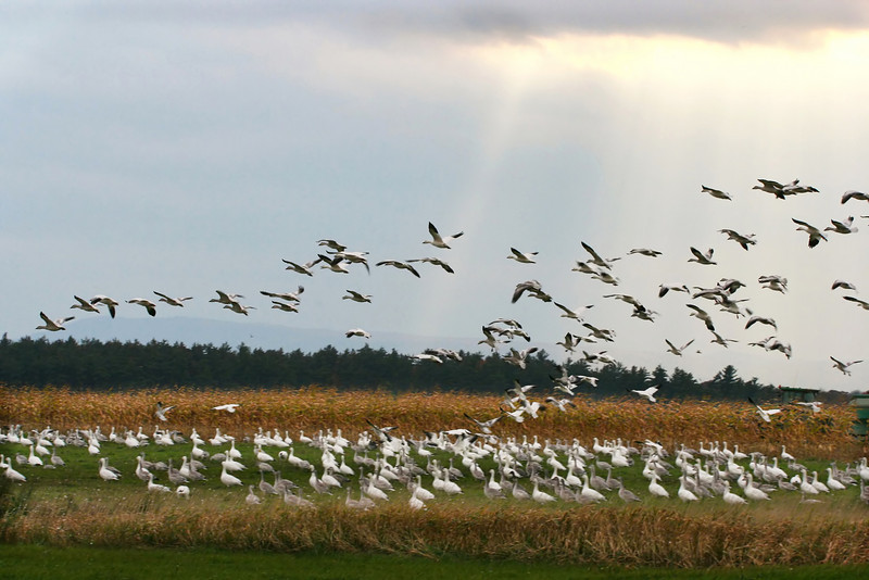Snow Geese At Dead Creek Addison, VT
