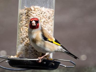Garden Birds 13 April 2015