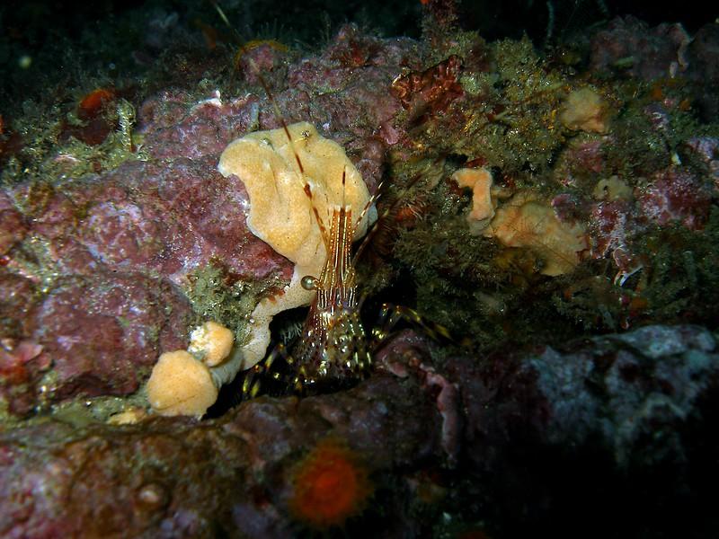 Coonstripe shrimp at Forties cove on Santa Cruz Island.