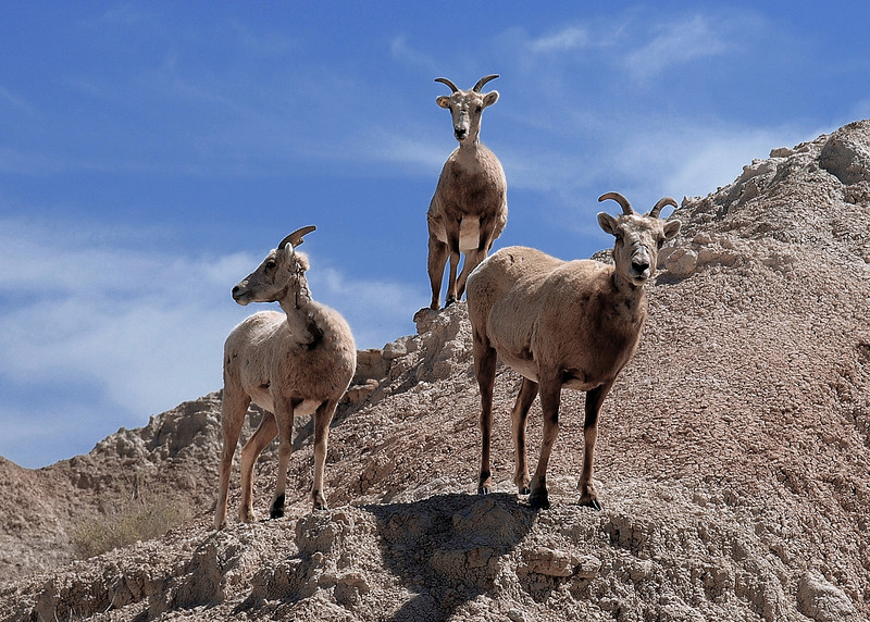 Mountian Goats at the Badlands Photo # 18