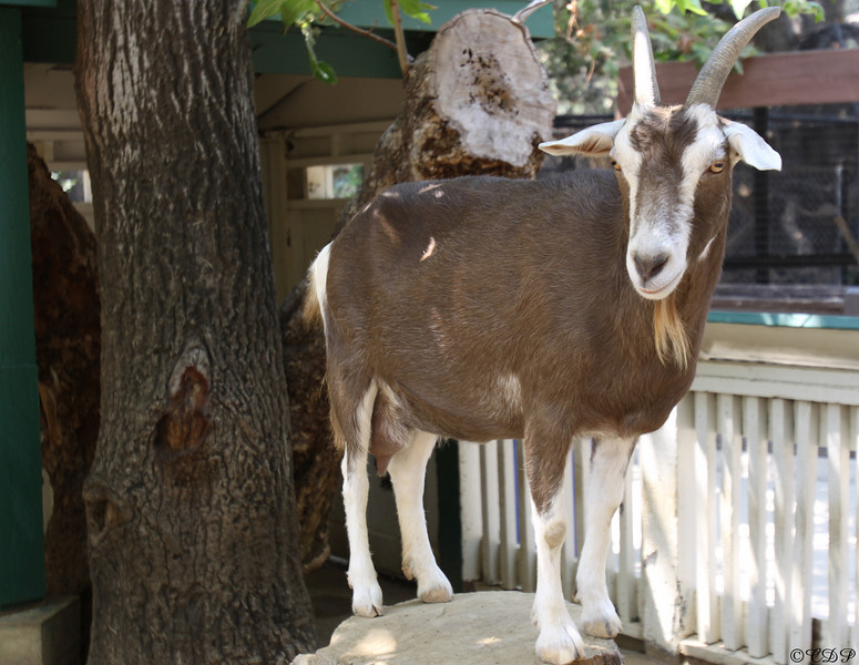 August 18, 2009  Another photo from the zoo on Sunday.   This goat was so nice to just stand there and pose for the camera.