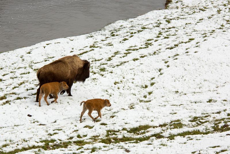 Buffalo with Calves