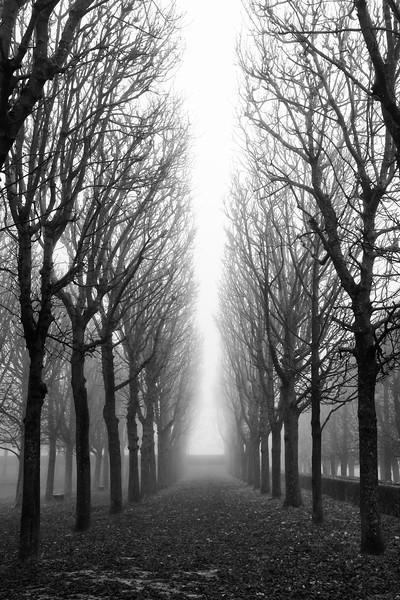 Tree Allée in Fog
