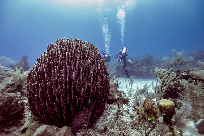 Coral reef with scuba divers in the background, Belize