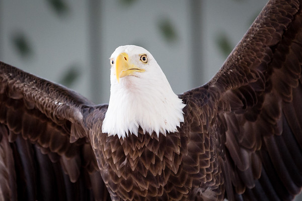 St. Louis Earth Day Festival 2014 pictures World Bird Sanctuary: Bald Eagle