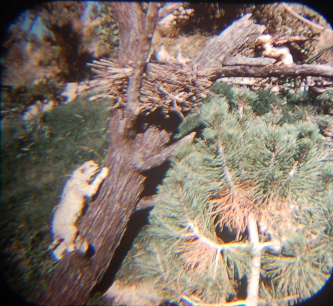 1959 Viewmaster of bobcat climbing a tree to an eagle's nest.  This has gone away in 2009. There is an eagle's nest perched on a sign somewhere, but I didn't get a good shot of it. And no eagle.