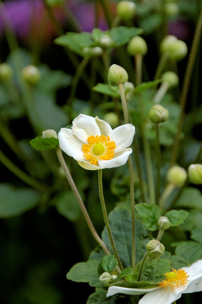 Anemone (6).jpg