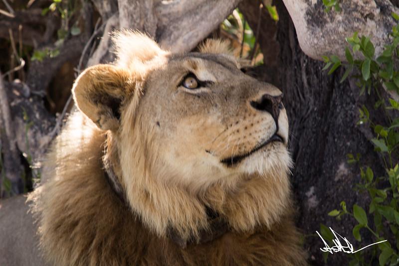 Lions Etosha-S-8.jpg