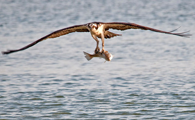 Osprey Catches a Big One - April 2012