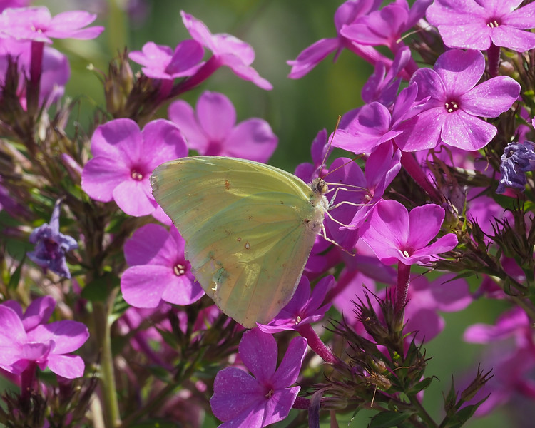 Cloudless Sulphur, male