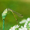 A dragon-fly is covered the drops of dew. A dragon-fly sits on the tip of bud.