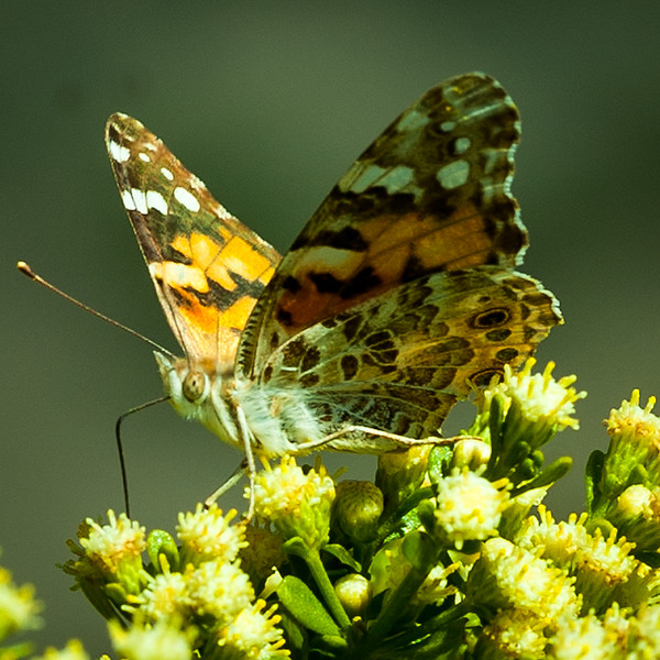 Painted Lady 1.jpg