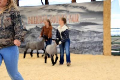 Intermediate Sheep Showmanship