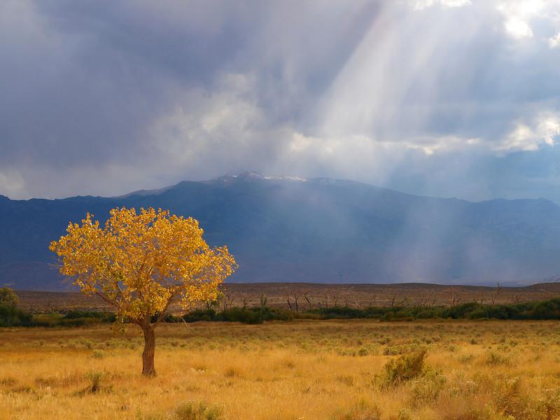 Golden Tree.