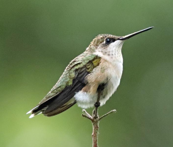 Female hummingbird 3