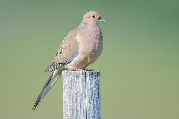 6 2013 Jun 1 Mourning Dove, Vesper Sparrow, N Pintail & A Big Bird*