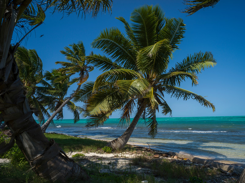 Palm trees swaying on the beach, Half Moon Caye, Lighthouse Reef Atoll, Belize