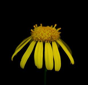 Senecio madagascariensis (Asteraceae)