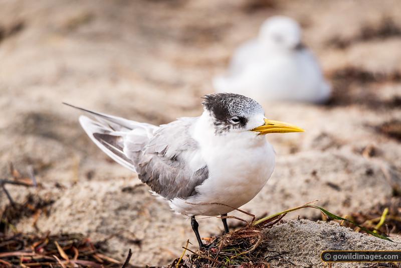 Right Tern
