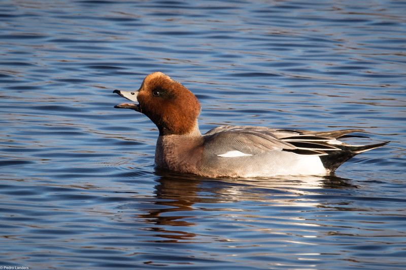 Wigeon Calling