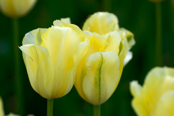05-15-10 Tulip Festival / Festival des tulipes
