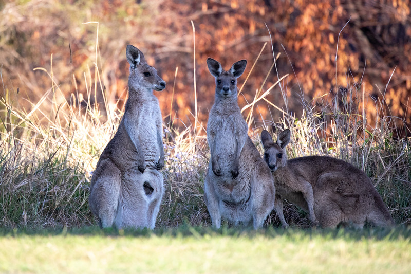 Eastern grey kangaroos, University of the Sunshine Coast