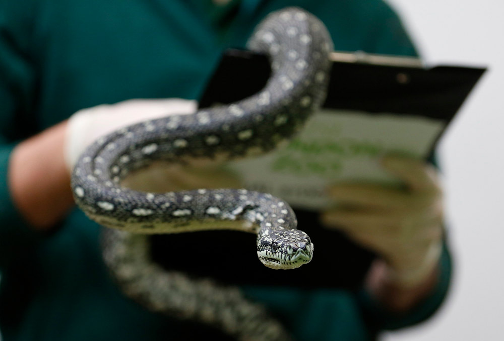 . Zoo keeper Grant Kother poses with a Diamond Python during the annual stock take at London Zoo January 3, 2013. The compulsory count of more than 17,500 animals is noted annually as part of the zoo\'s licence, and the information is logged with the International Species Information System (ISIS), used for managing international breeding programs of endangered animals. REUTERS/Luke MacGregor