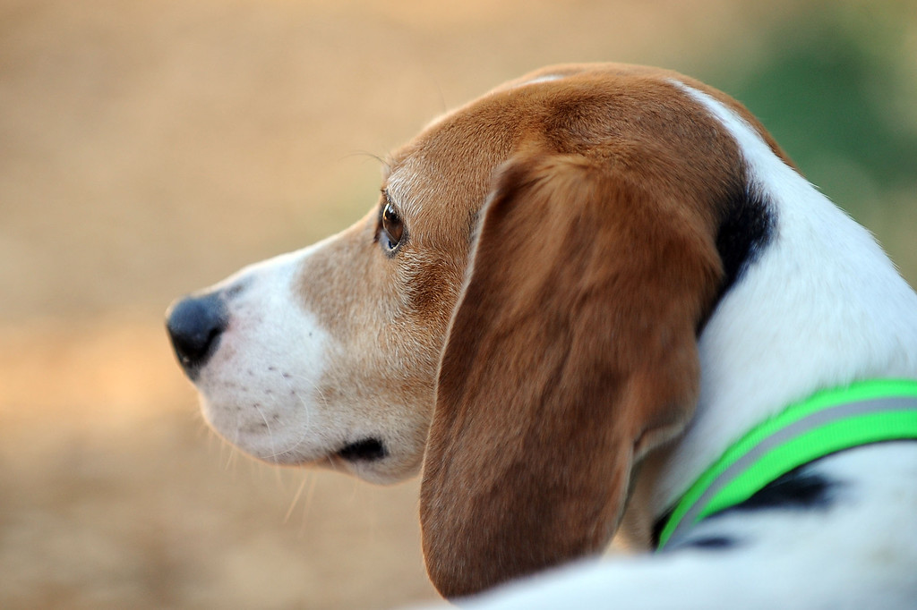 """. \""""Sam\"""", one of ten beagles rescued from a research laboratory by Beagle Freedom Project, takes in his new home February 27, 2013.  The dogs traveled nearly 1500 miles to their new home in Valley Village, CA. (Andy Holzman/Los Angeles Daily News)"""