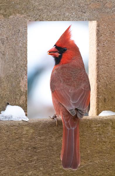 cardinal at window smusg.jpg
