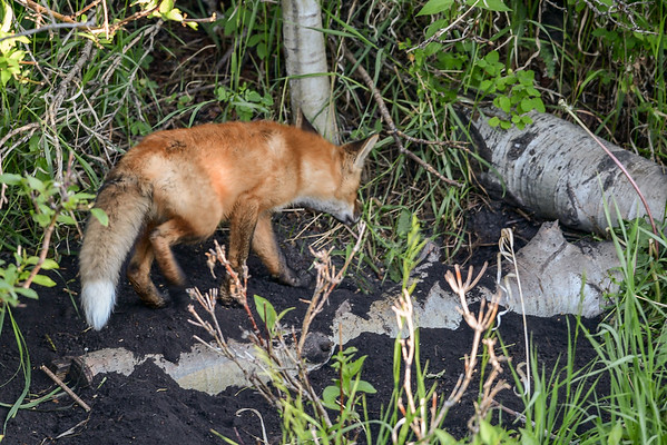 6-9-16 *^Red Fox Kits - New Den