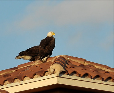 2009-03-23 - Two Bald Eagles landed on my roof