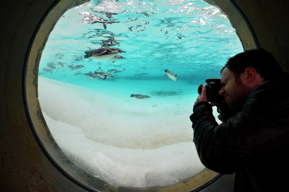 Description of . A photographer takes pictures of penguins during the annual stocktake at ZSL London Zoo in central London on January 3, 2013. ZSL London Zoo embarked on January 3 on their annual complete head-count of every animal at the zoo, which houses over 17,000 animals. BEN STANSALL/AFP/Getty Images