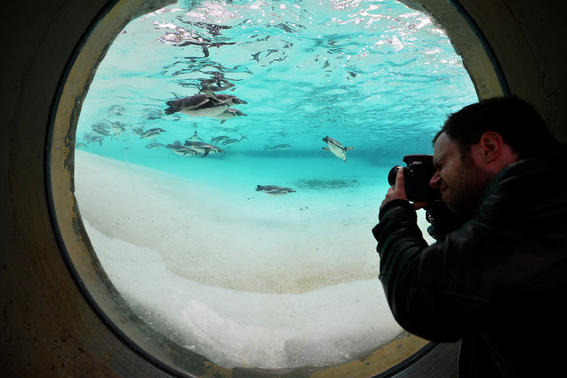 . A photographer takes pictures of penguins during the annual stocktake at ZSL London Zoo in central London on January 3, 2013. ZSL London Zoo embarked on January 3 on their annual complete head-count of every animal at the zoo, which houses over 17,000 animals. BEN STANSALL/AFP/Getty Images