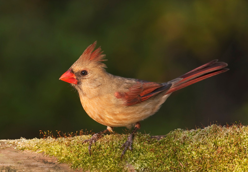 Juvenile Northern cardinal on moss