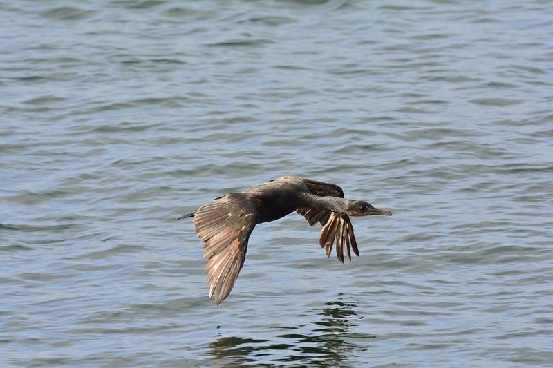 Brandts Cormorant