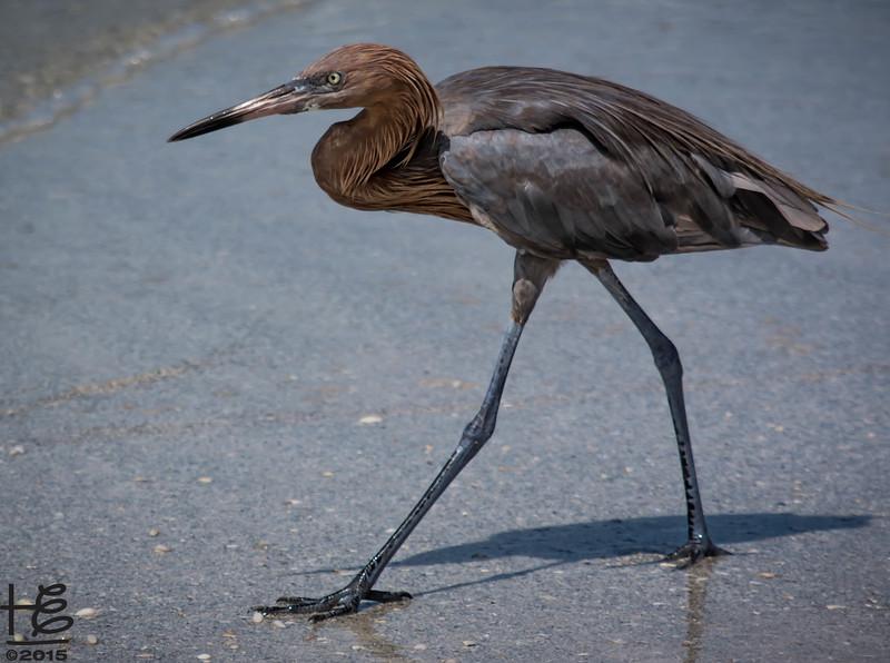 Reddish Egret walks the beach