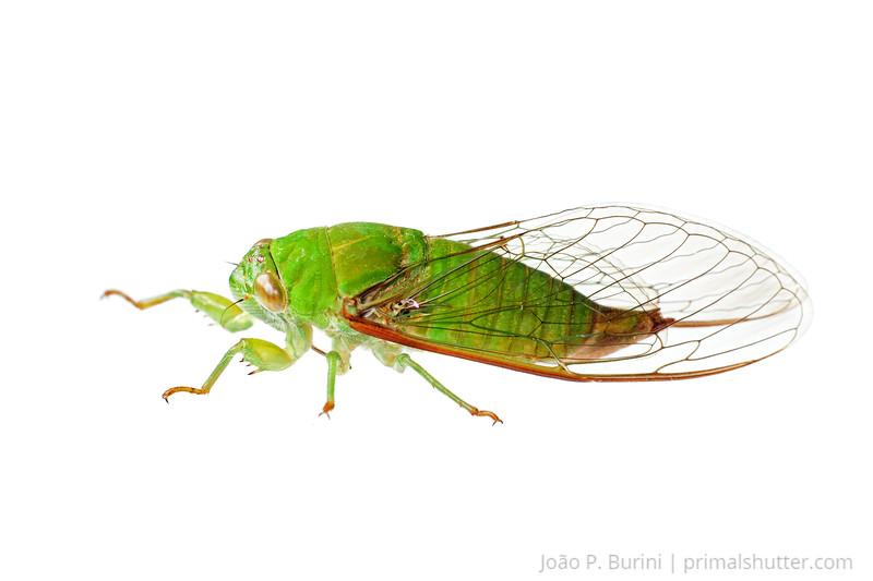 Cicada (Hemiptera: Cicadelidae) Sorocaba, SP, Brazil Urban February 2013