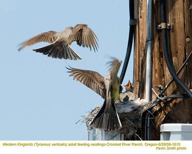 WesternKingbirdsA&N1610.jpg